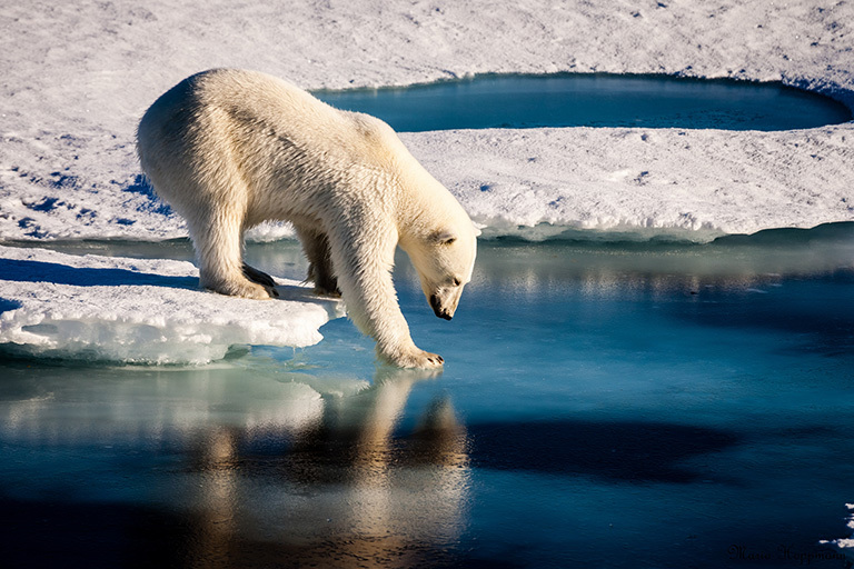 2499_polar-bear-768px-80